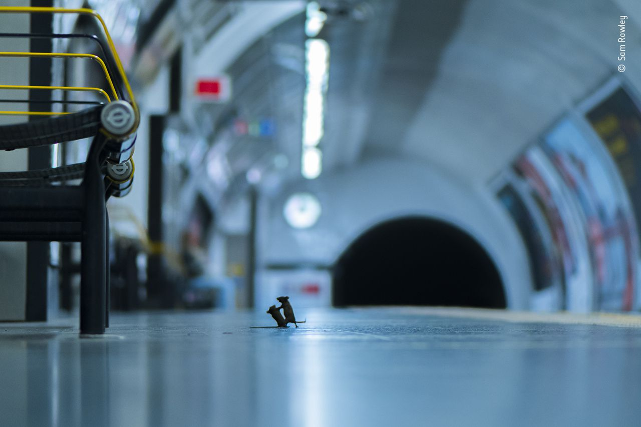 Dos ratones pelean por unas migajas de pan en el metro de Londres.