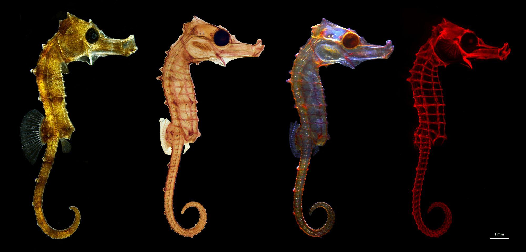 Las mejores fotos científicas: de la anatomía del caballito de mar al cortejo de crustáceos