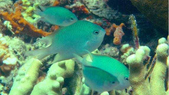 Crónica salvaje. Descubren una cuarta especie de pez coral que cuida de sus crías