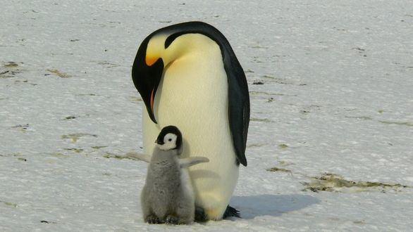 Ejemplar de pingüino rey adulto junto a su cría.