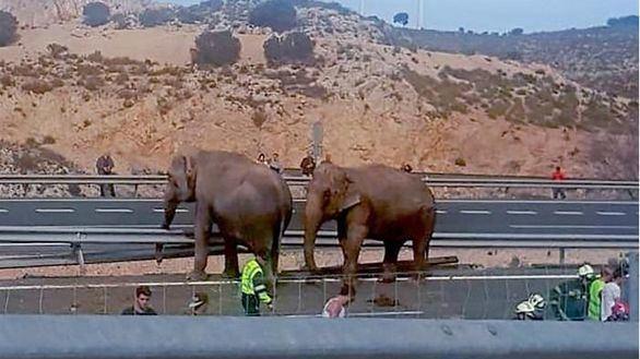 El vuelco de un camión deja a cuatro elefantes en una carretera de Albacete