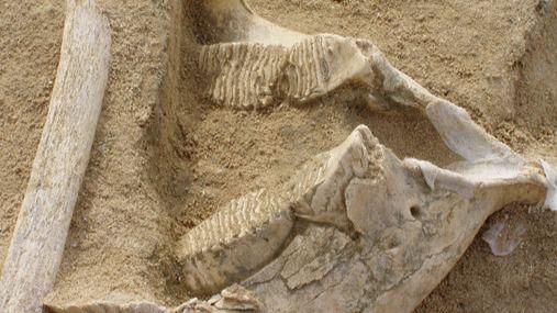 Mandíbula y costilla de Mammuthus cf. intermedius hallados en el yacimiento de EDAR Culebro 1 (Madrid)