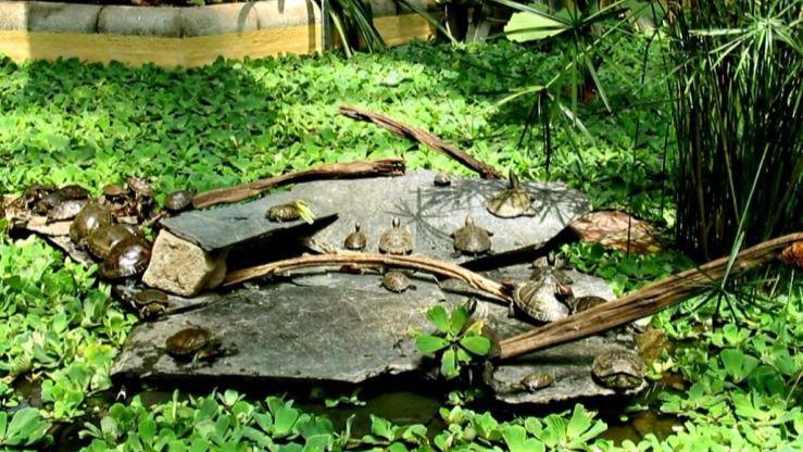 Las tortugas abandonan el estanque de Atocha