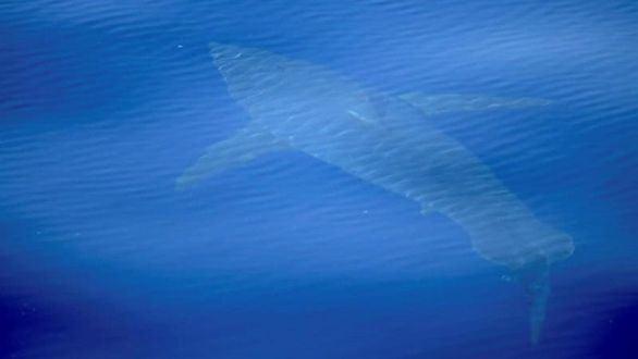 El tiburón blanco vuelve a aguas españolas después de 30 años desaparecido