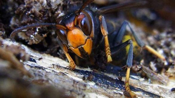 La avispa asiática se cobra su tercera víctima en Galicia