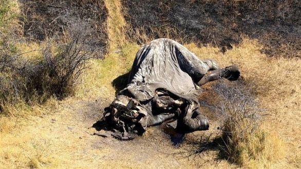 Cazadores furtivos matan a 90 elefantes para robar sus colmillos