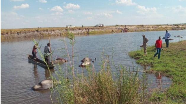Hallados 400 búfalos misteriosamente ahogados entre Namibia y Botsuana