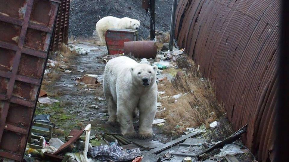 Más de 50 osos polares invaden un pueblo ruso en busca de alimento