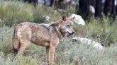 Las carreteras de Madrid frenan la expansión del lobo al sur de la Península