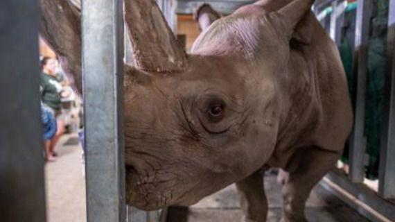 El rinoceronte negro, Doppsee, espera su primera cría.