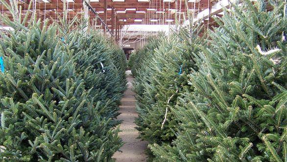 Consejos para cuidar tu abeto esta Navidad
