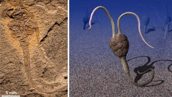 Yanhiajella, el enigmático fósil del Cámbrico que trae de cabeza a los científicos