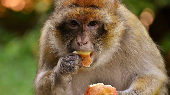 Tocar a los monos de Gibraltar será delito: más de 4.000 euros por saltarse la ley