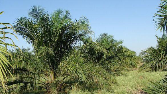 Un asesor de la ONU afirma que el boicot al aceite de palma no es la solución contra la deforestación