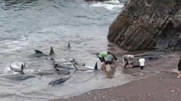 Rescatan a un grupo de calderones varados en una playa asturiana