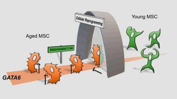 Cuando las células madre mesenquimales / estromales (MSC) envejecen, el factor de transcripción GATA6 se produce cada vez más en la célula para inducir la respuesta al envejecimiento. Mediante la reprogramación celular basada en factores de transcripción, las CMM envejecidas se rejuvenecen con una reducción de los efectos de GATA6 sobre el envejecimiento celular.