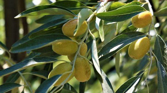 El aceite de acebuchina ayuda a reducir la hipertensión más que el aceite de oliva