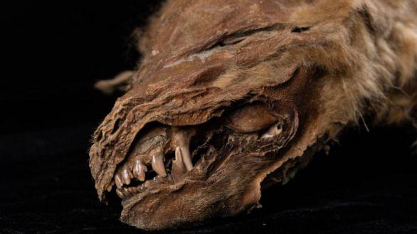 Hallan intacta una cría de lobo, tras pasar 57.000 años congelada en el permafrost