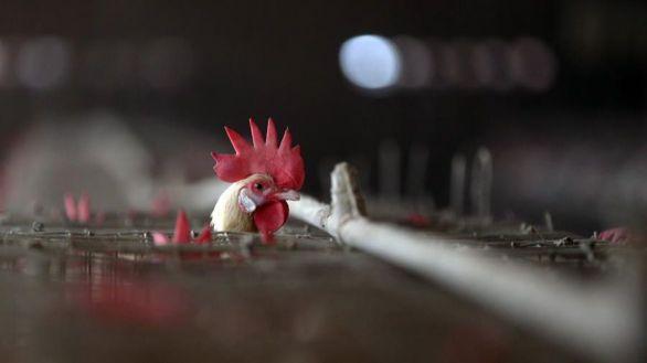 La epidemia de gripe aviar francesa se agrava cerca de la frontera con España
