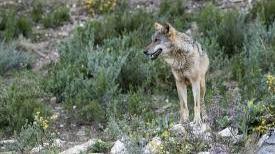 Ribera y Planas comparecerán en el Senado para abordar la situación del lobo ibérico