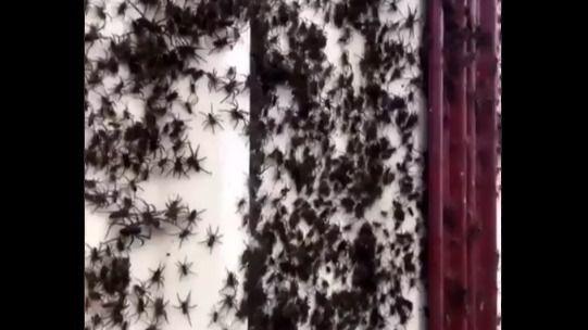 Miles de arañas invaden viviendas por las inundaciones en Australia
