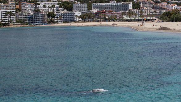 Una ballena gris nada en la costa de Mallorca