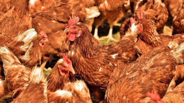 Alerta sobre el virus de la gripe aviar: es altamente patógeno y un potencial peligro de salud pública
