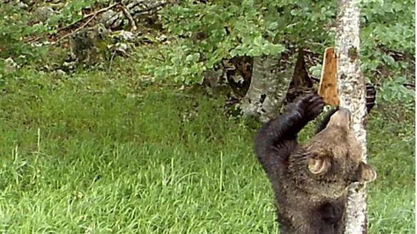 Demuestran que los osos pardos usan marcas en los árboles para comunicarse