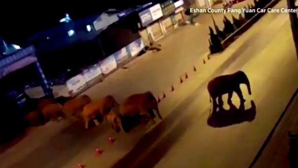 Una manada de elefantes atraviesa varios pueblos en China