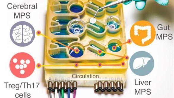 Investigadores del MIT han inventado y desarrollado un sistema de 'órganos en un chip', que replica las interacciones entre el cerebro, el hígado y el colon de una persona