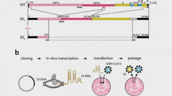Virus interferentes defectuosos sintéticos.(A) Se utilizaron tres porciones del genoma del SARS-CoV-2 de tipo salvaje (WT) para crear un genoma de interferencia defectuoso sintético (DI 1) y una versión más corta (DI 0) que comprende solo partes de las dos porciones terminales. Los números que delimitan las porciones se refieren a posiciones en el genoma del SARS-CoV-2. La primera posición está mutada (A ? C) tanto en DI 1 como en DI 0. Los rectángulos abiertos muestran la posición de las sondas y los cebadores utilizados. (B) Para producir partículas de DI sintéticas, construcciones de ADN correspondientes a la secuencia de ARN de DI 1 o DI 0 se transcribieron en ARN in vitro utilizando ARN polimerasa T7 y se transfectaron en células Vero-E6 que luego se infectaron con SARS-CoV-2. El sobrenadante de estos cultivos celulares se utilizó para infectar nuevas células.