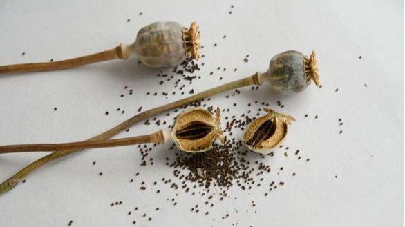Detectan altos niveles de opiáceos en algunas semillas destinadas al consumo humano