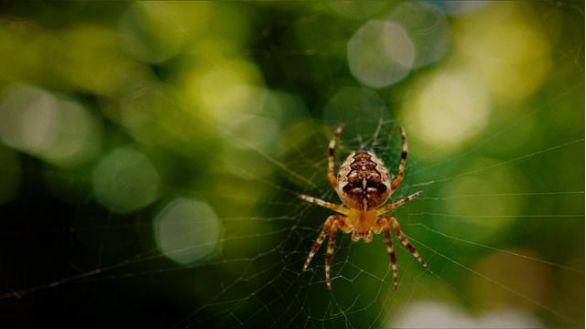 Cuestionan las propiedades antimicrobianas de la seda de araña