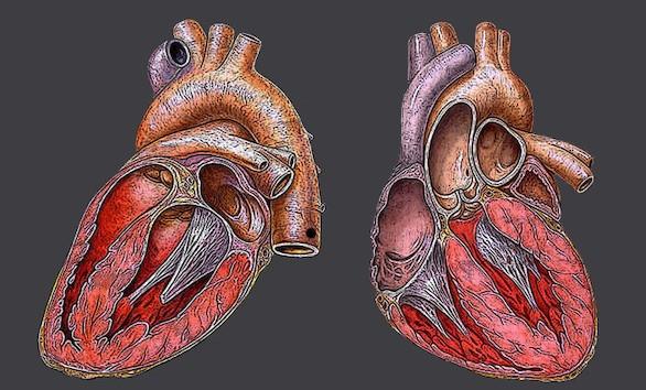 Descubierto un interruptor genético que regula el desarrollo del corazón
