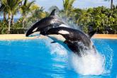 Los investigadores no han podido comparar estos resultados con el de sus primos los delfines porque es el primer estudio en el que se obtiene el perfil de personalidad de un cetáceo.