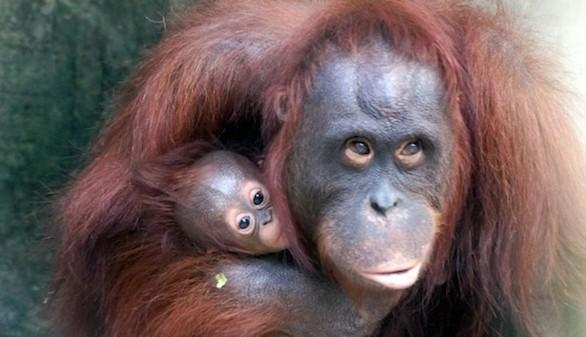 Crónica salvaje. Los grandes simios pueden leer la mente