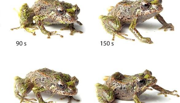 Descubierta una nueva especie de rana capaz de cambiar la textura de su piel