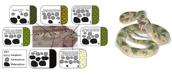 Descifran por primera vez el color original de una serpiente fosilizada hace 10 millones de años
