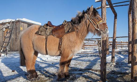 Un ejemplar de caballo de Yakutia. Wikimedia Commons / Maarten Takens