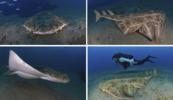 Crónica salvaje. Angelote, pacífico tiburón y lince de los mares