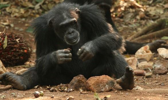 Primer análisis sobre cómo usan herramientas de piedra los chimpancés