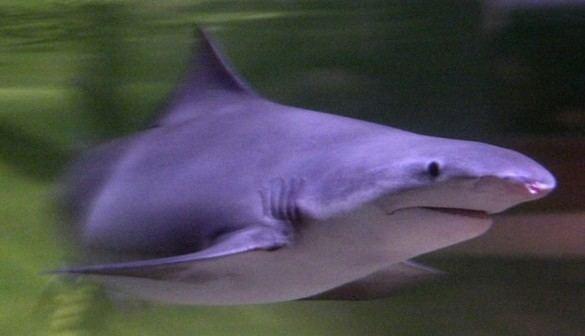 Logran capturar dos ejemplares del esquivo tiburón lanza