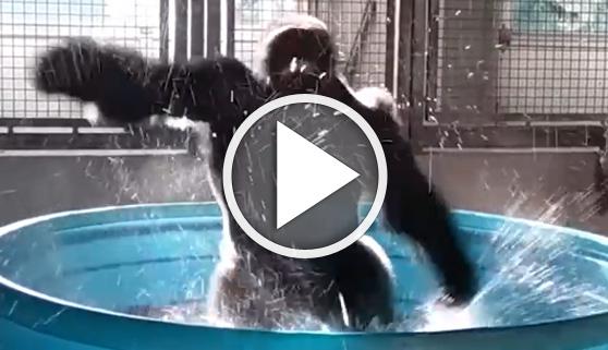 Vídeos virales. El gorila Zola también baila en la piscina