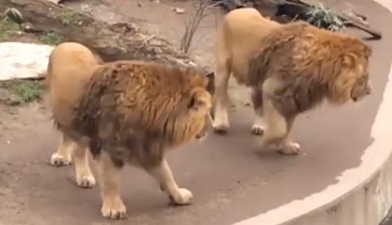 El susto de un león, por despistado