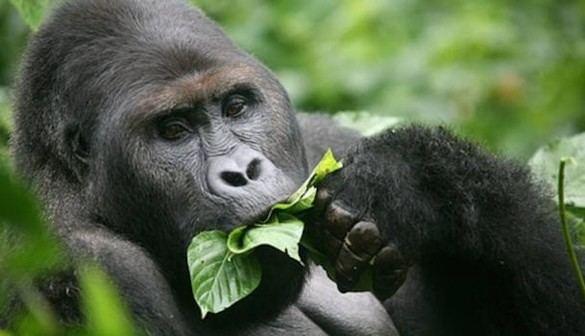 Crónica salvaje. SOS desesperado para salvar al Gorila oriental