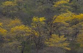Ecuador se tiñe de amarillo cuando los guayacanes florecen
