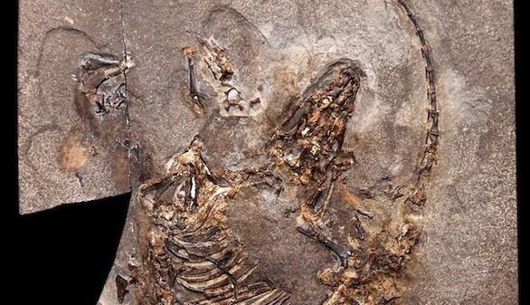 Un fósil hallado en Cuenca, señal mundial del progreso del pelo en mamíferos