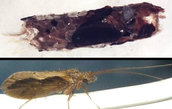 Crónica salvaje: Las larvas 'arquitectas' de insectos acuáticos