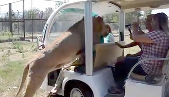 Un león salta dentro de un vehículo lleno de turistas