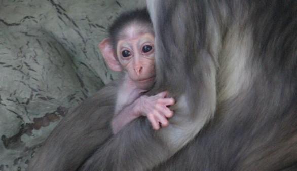 Crónica salvaje. Nace en el Zoo de Barcelona un mono en serio peligro de extinción